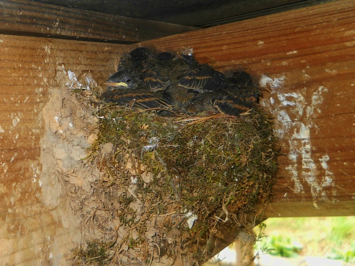 nestful-of-birds